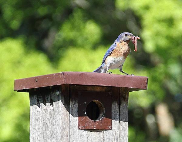 Photograph - Bluebird Breakfast Feeding by Allen Nice-Webb