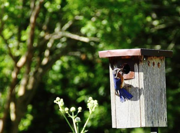 Photograph - Bluebird Breakfast Is Ready by Allen Nice-Webb