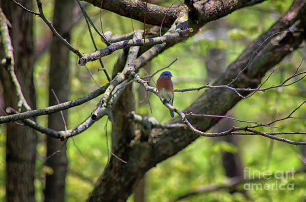 Photograph - Bluebird In A Tree by Karen Adams