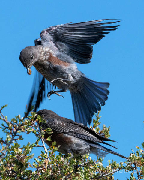 Wall Art - Photograph - Bluebird Leapfrog by Mike Dawson