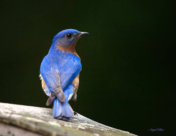 Photograph - Bluebird Male by Angel Cher