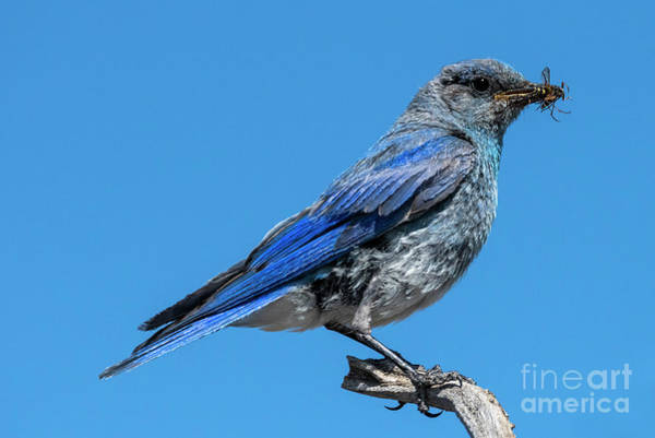 Wall Art - Photograph - Bluebird Meal by Mike Dawson