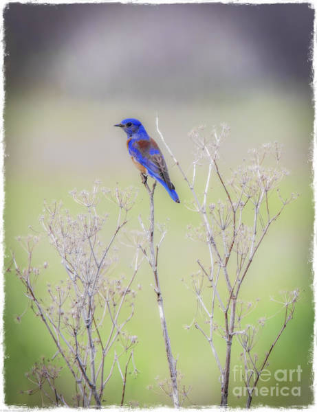 Hemlock Photograph - Bluebird On Hemlock by Mitch Shindelbower
