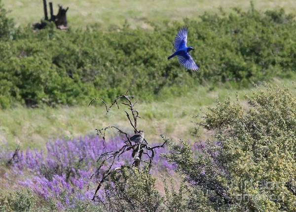 Photograph - Bluebird Pair In Blickleton by Carol Groenen