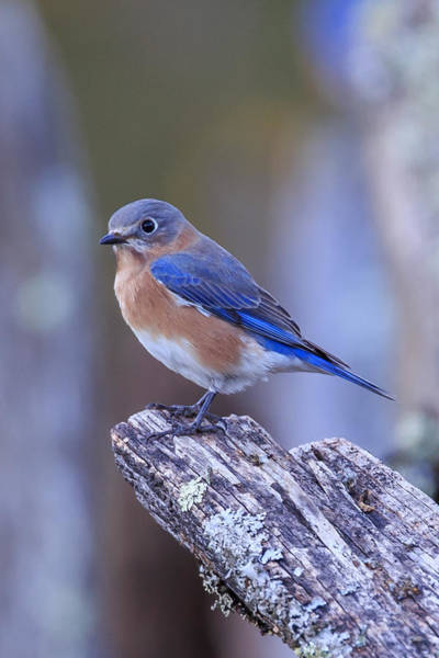 Photograph - Bluebird by Paul Schultz