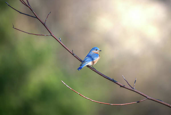Photograph - Bluebird Perched On A Tree Branch In The Sunlight by Patrick Wolf