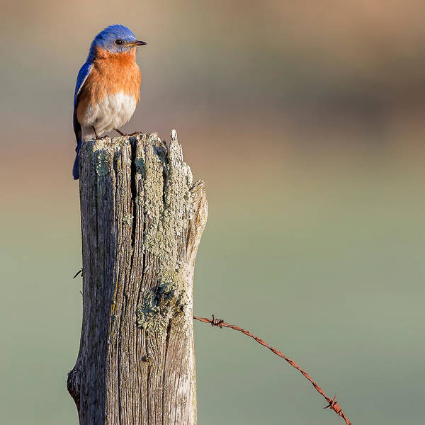 Morning Song Wall Art - Photograph - Bluebird Portrait Square by Bill Wakeley