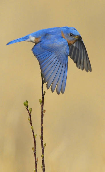 Photograph - Bluebird Takes Flight by William Jobes