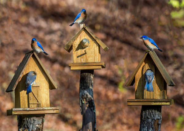 Photograph - Bluebirds by Claudia Abbott