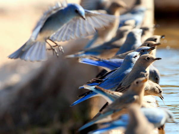 Wall Art - Photograph - Bluebirds by George Gries