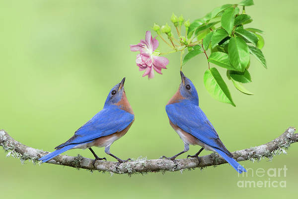 Wall Art - Photograph - Bluebirds With Rose by Bonnie Barry