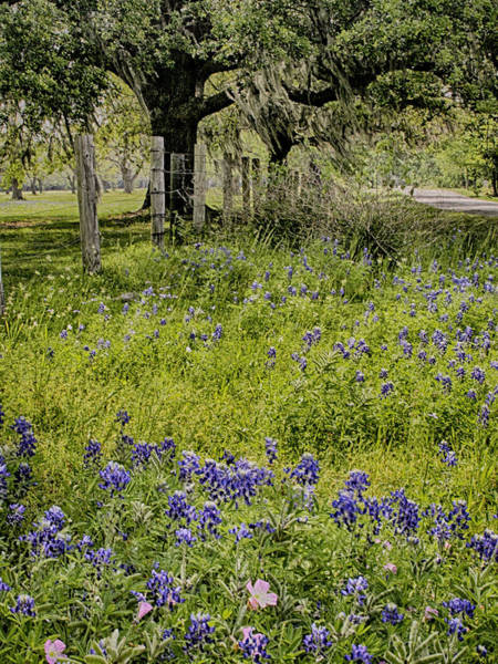 Photograph - Bluebonnet On Country Road by Charles McKelroy