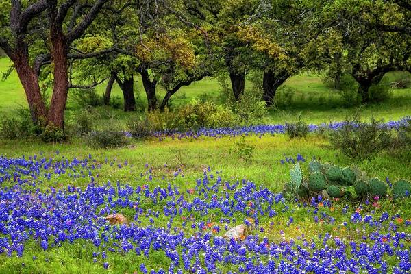 Photograph - Bluebonnet Spring by Harriet Feagin