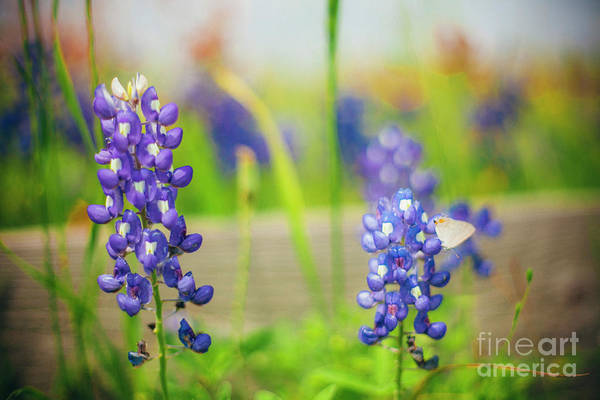 Wall Art - Photograph - Bluebonnets And A Butterfly by Katya Horner