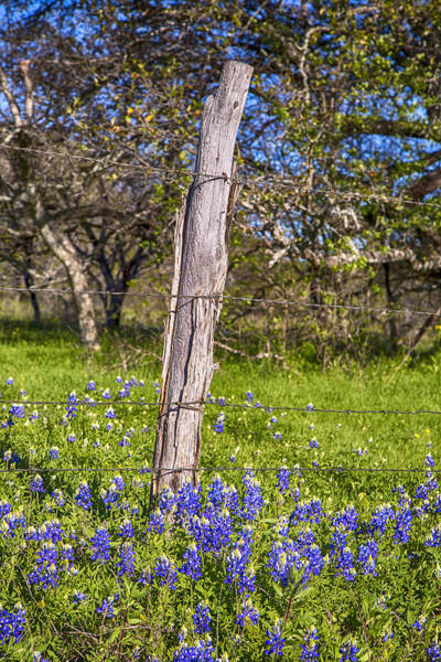 Wall Art - Photograph - Bluebonnets And Barbed Wire by Stephen Stookey