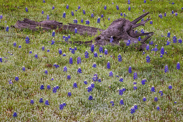 Texas Bluebonnet Photograph - Bluebonnets And Fallen Tree - Texas Hill Country by Brian Harig