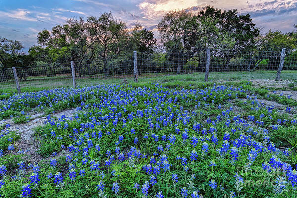 Photograph - Bluebonnets And Limestone Against The Sunset - Canyon Lake Comal County Texas Hill Country by Silvio Ligutti