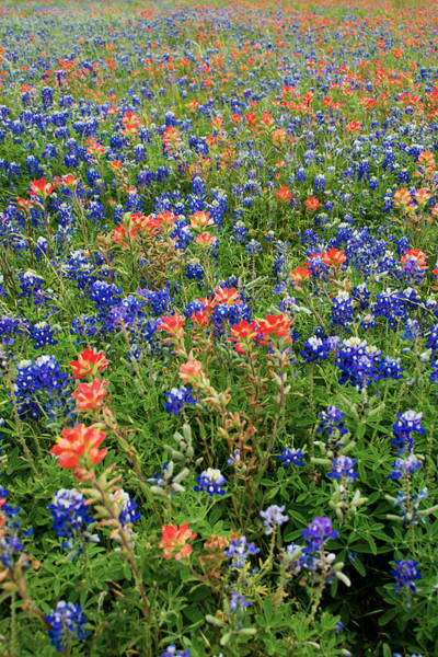 Texas Landscape Photograph - Bluebonnets And Paintbrushes 3 - Texas by Brian Harig
