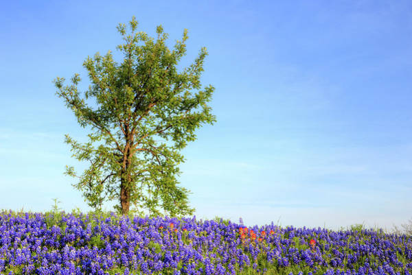 Photograph - Bluebonnets And The Lone Oak by JC Findley
