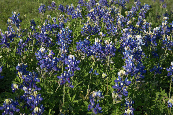 Photograph - Bluebonnets by Frank Madia