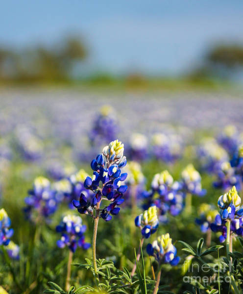 Photograph - Bluebonnets II by Julia Rigler
