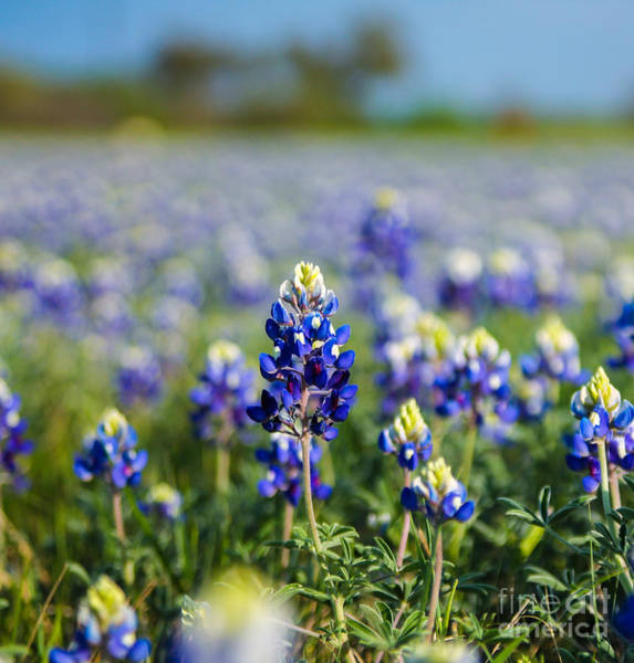 Photograph - Bluebonnets by Julia Rigler