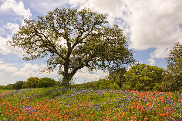 Wall Art - Photograph - Bluebonnets Paintbrush And An Old Oak Tree - Texas Hill Country by Brian Harig