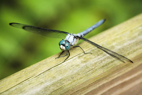 Wall Art - Photograph - Blued Eyed Darner by Marilyn Hunt