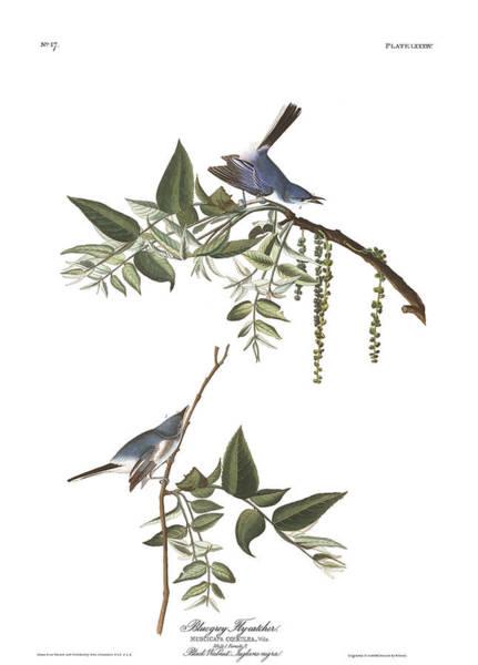 Flycatcher Painting - Bluegrey Flycatcher by John James Audubon