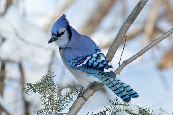 Wall Art - Photograph - Bluejay 0296 by Michael Peychich