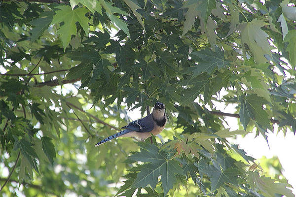 Photograph - Bluejay In The Maple 8305 by Ericamaxine Price