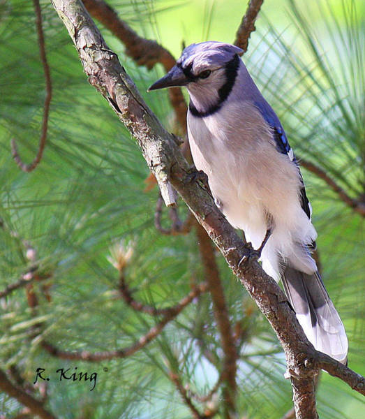 Wall Art - Photograph - Bluejay by Roena King