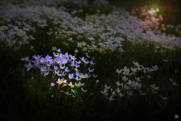 Photograph - Bluets In Momentary Light by John Meader