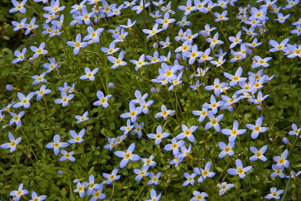 Photograph - Bluets by Ken Barrett