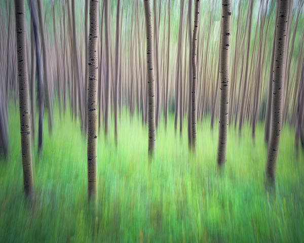 Blurred Aspen Trees Art Print