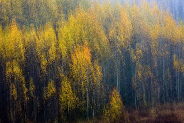 Photograph - Blurry Aspens by Whit Richardson