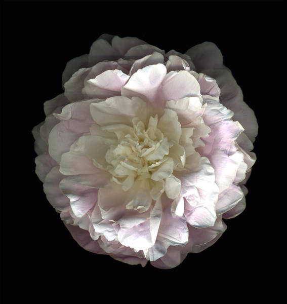 Photograph - Blush Peony Open by Deborah J Humphries