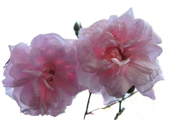 Photograph - Blushing Beauties by Grace Dillon