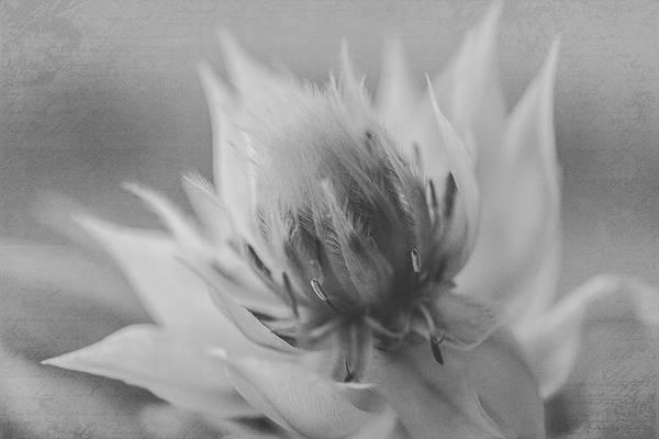 Photograph - Blushing Bride - Black And White Version by Teresa Wilson