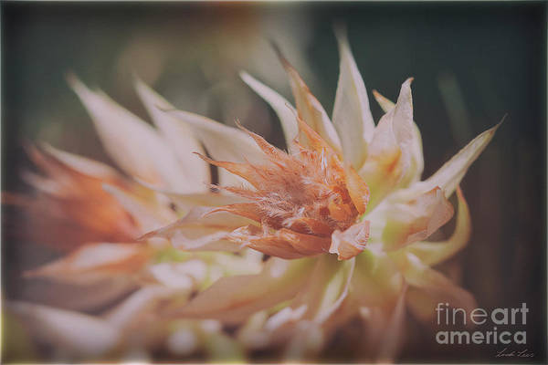 Proteaceae Photograph - Blushing Bride by Linda Lees