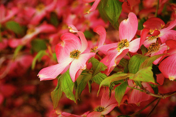 Photograph - Blushing Dogwood by Cate Franklyn