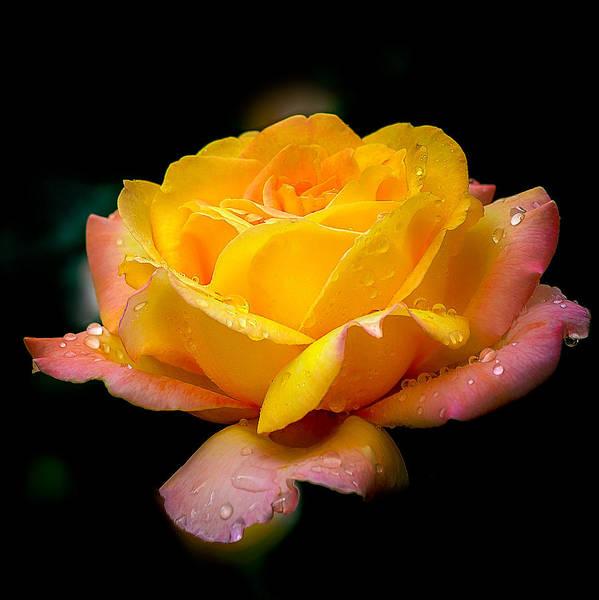 Photograph - Blushing Petals by Julie Palencia