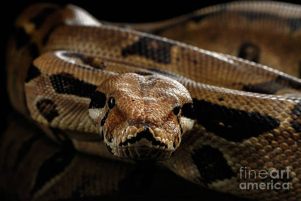 Photograph - Boa Constrictor Imperator Color, On Isolated Black Background by Sergey Taran
