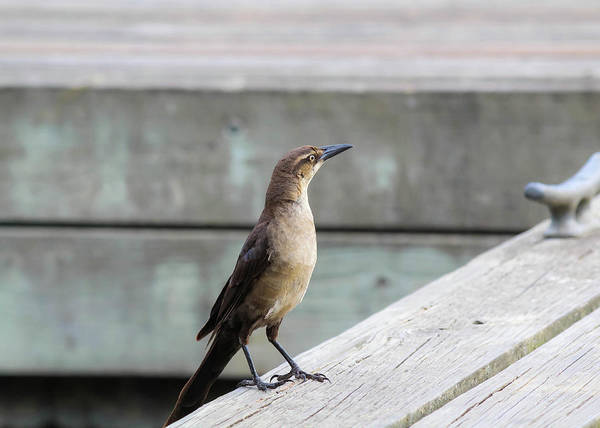 Photograph - Boat Tailed Grackle by Alison Frank