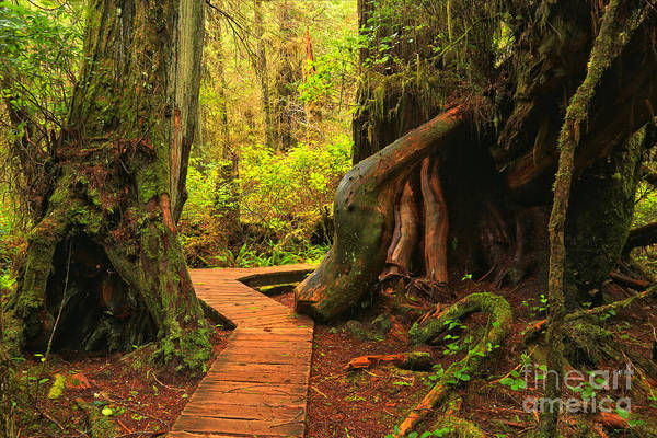Photograph - Boardwalk Between The Giants by Adam Jewell