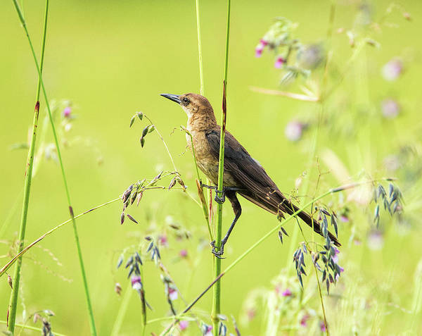 Photograph - Boat-tailed Grackle Female by Richard Goldman