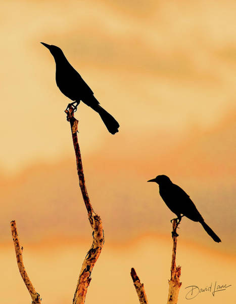 Photograph - Boat Tailed Grackles by David A Lane