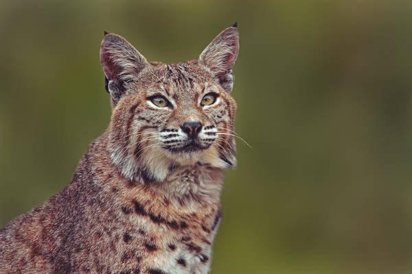 Photograph - Bobcat  by Brian Cross
