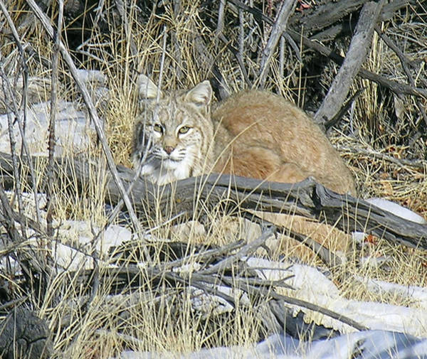 Photograph - Bobcat by Bruce Dunavin