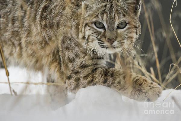 Wall Art - Photograph - Bobcat Comes Close by Carol Walker